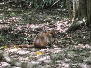 Coatimundi racoon at Tikal