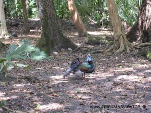 Ocellated turkey at Tikal