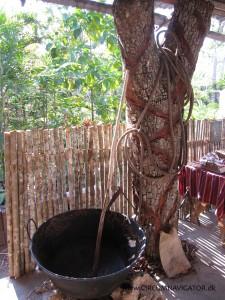 Rubber tree at museum near Tikal