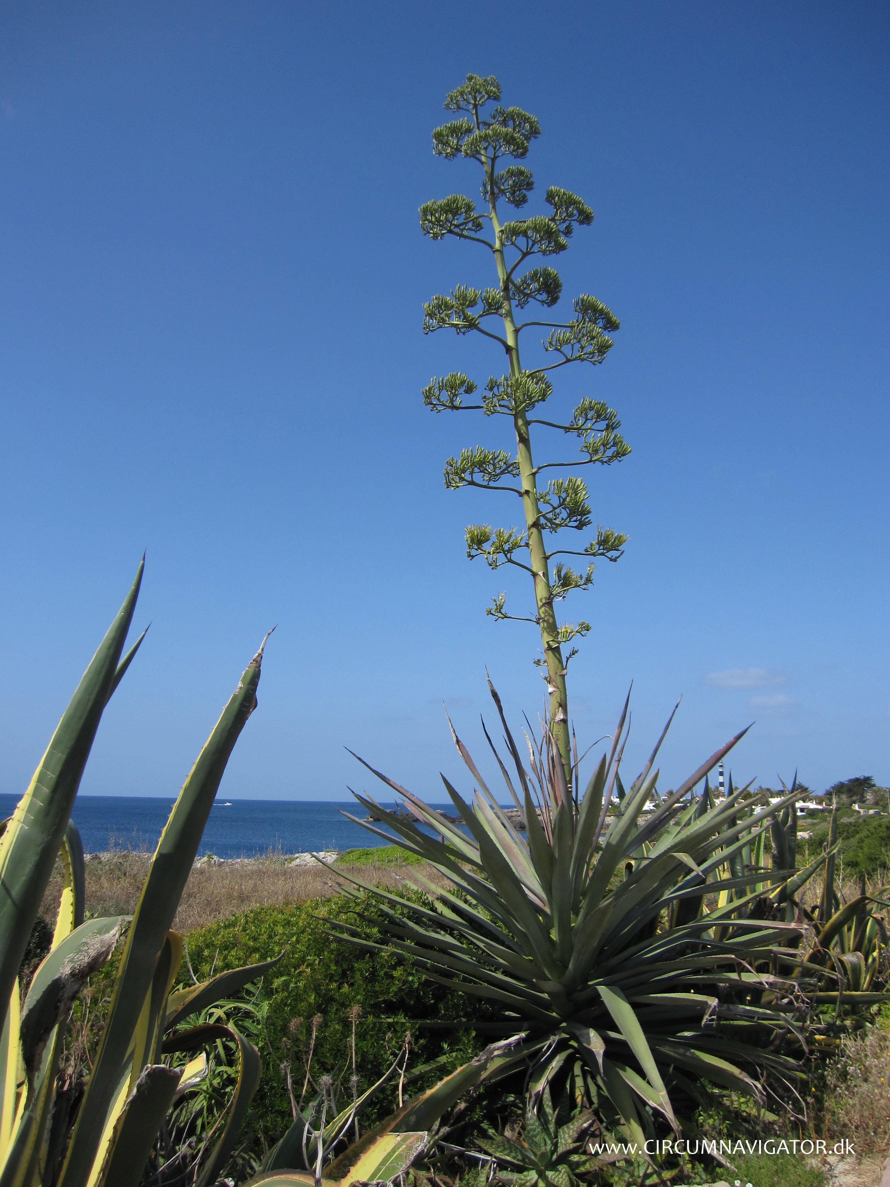 agave flower menorca